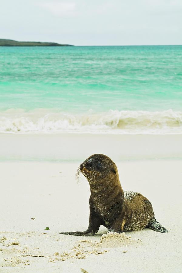 A Galapagos Sea Lion Pup Zalophus Photograph by Brian Guzzetti / Design Pics