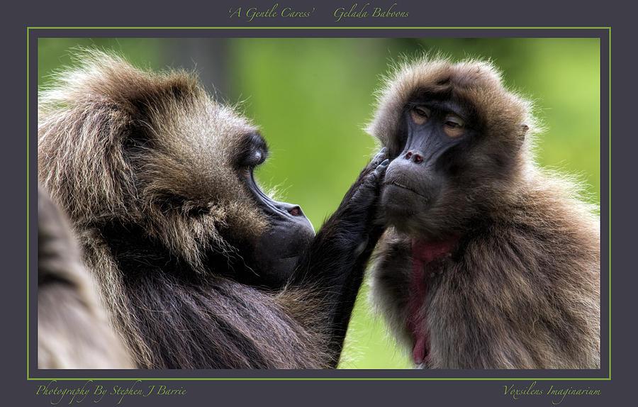 Gelada Baboons Photograph - A Gentle Caress   Gelada Baboons by Stephen Barrie