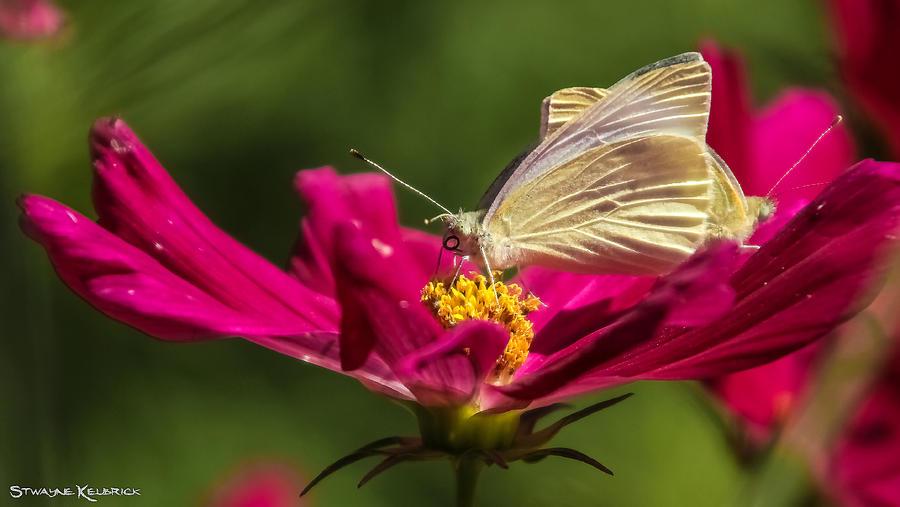 Butterfly Photograph - A Georgous butterfly macrophotography by Stwayne Keubrick