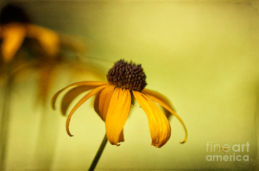 Black Eyed Susan Photograph - A Gift From August by Lois Bryan