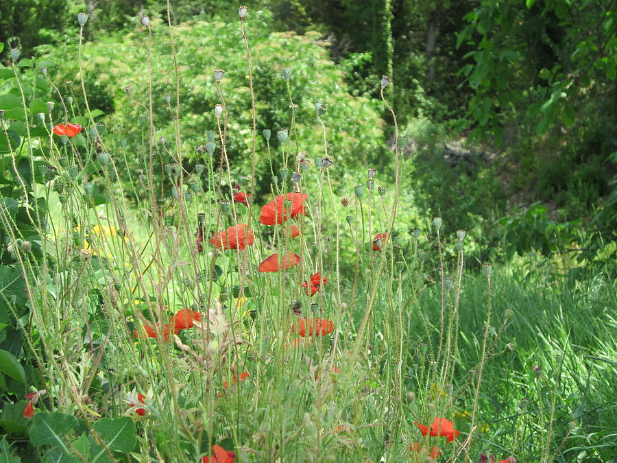 Poppies Photograph - A Glimpse Of Poppies by Pema Hou