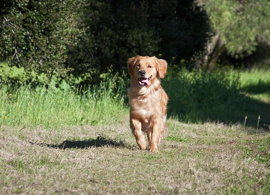 Action Photograph - A Golden Retriever Running by Zandria Muench Beraldo