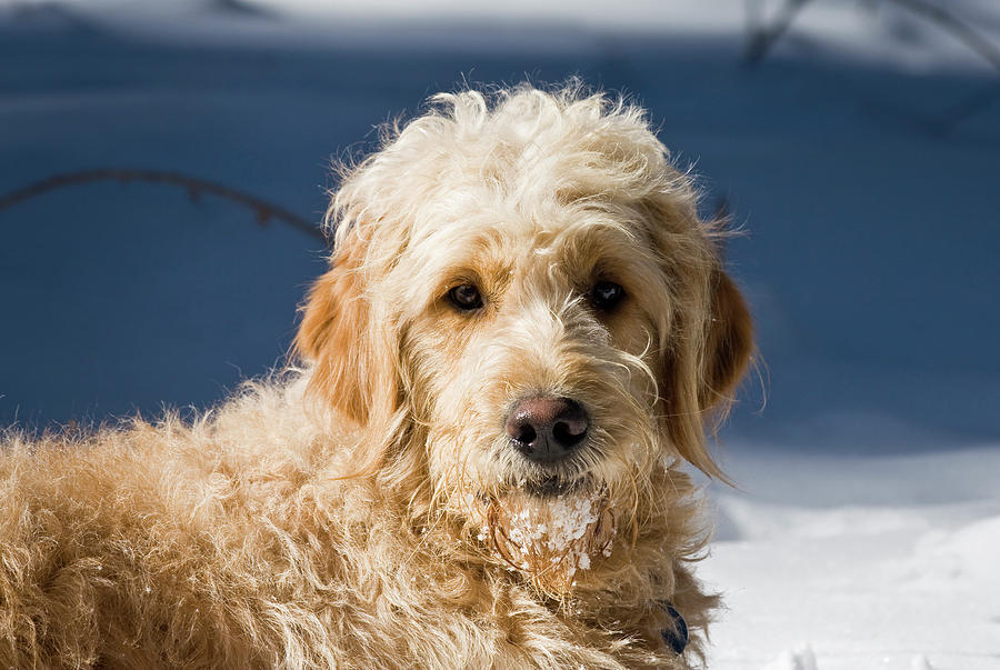 Alert Photograph - A Goldendoodle Lying In The Snow Bathed by Zandria Muench Beraldo