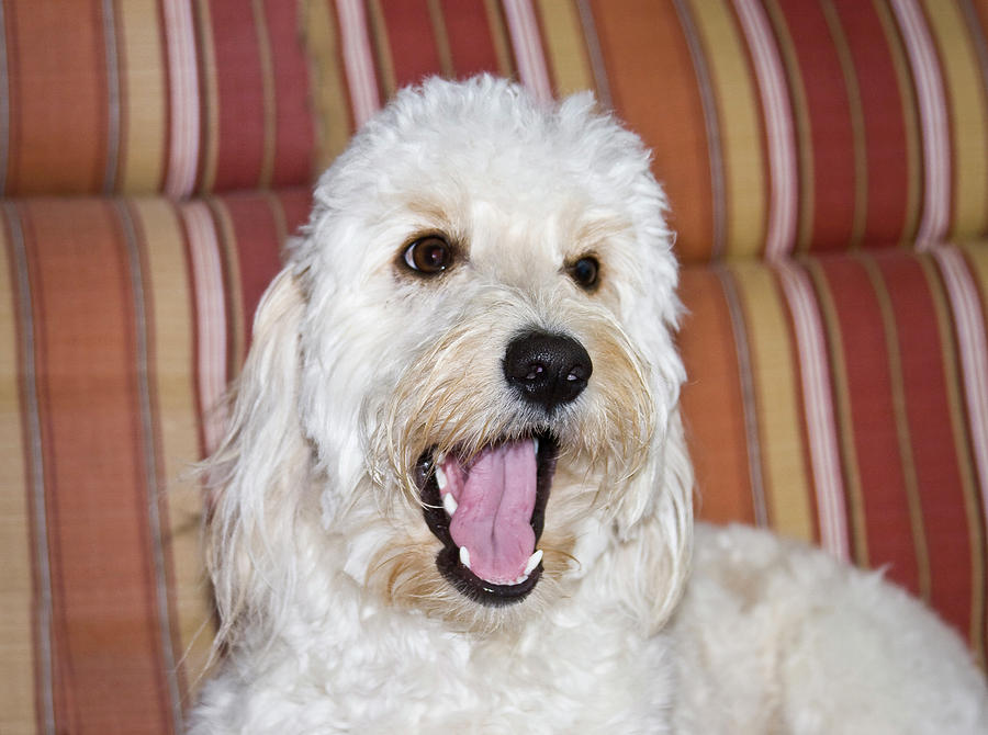 Communication Photograph - A Goldendoodle Lying On A Lawn Chair by Zandria Muench Beraldo