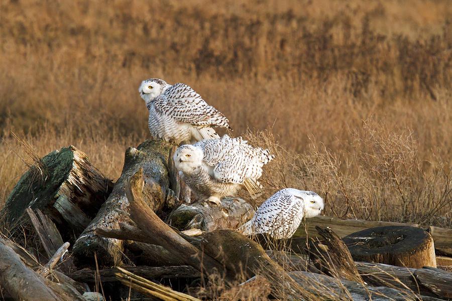 белая сова севера при приземлении фото шествие хабаровске