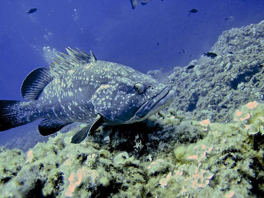 Fish Photograph - A Grouper by Roberto Galli della Loggia