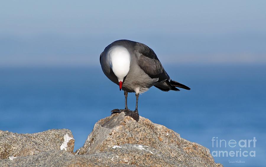 Heermann's Gull Photograph - A Heermanns Gull Investigates by Susan Wiedmann
