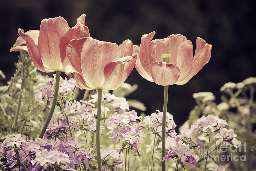 Tulips Photograph - A Hint Of Blush by Emily Kay