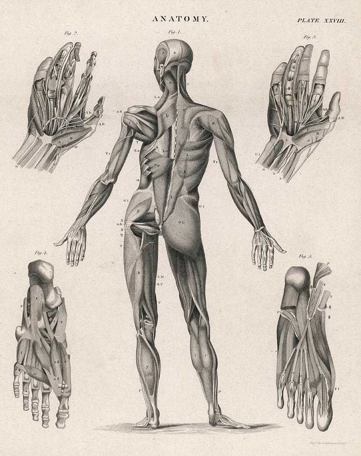 A Human Body Showing The Muscles Drawing By Mary Evans Picture Library