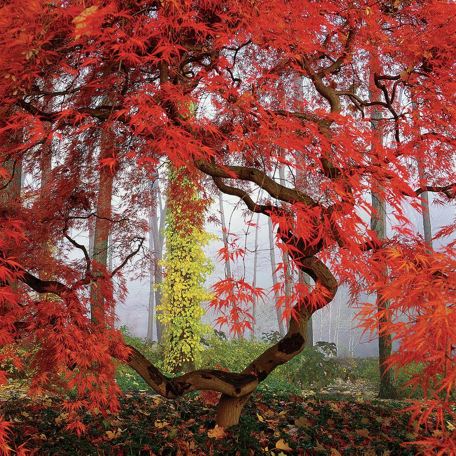 A Japanese Maple Tree Photograph by Richard Felber