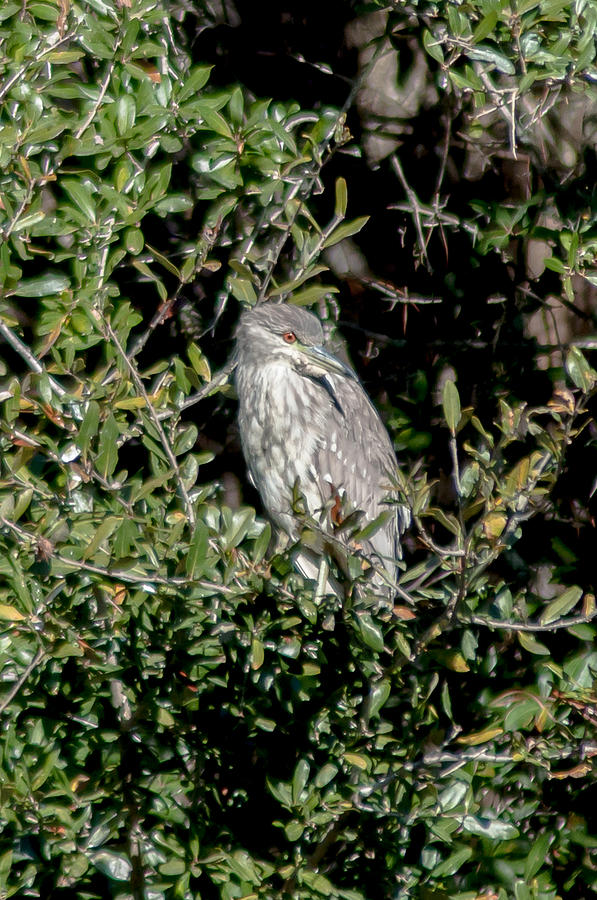 Night Heron Photograph - A Juvenile Yellow Crowned Night Heron Keeps Watch by Charles Moore