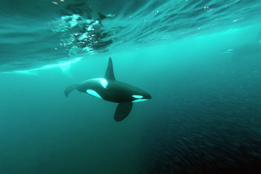 A Killer Whale Feeding On A School Of Photograph by Gerard Soury