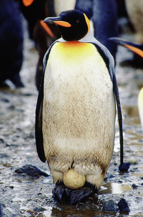 Adversity Photograph - A King Penguin Holds Its Egg by Ty Milford
