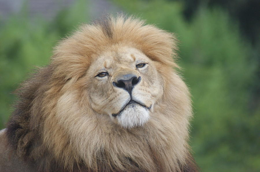 Animals Photograph - A Kings Smile by Leigh Ann Hartsfield