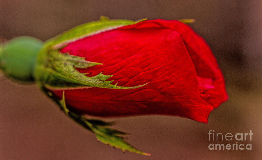 Canvas Prints Photograph - A Knockout Bloom by Dave Bosse