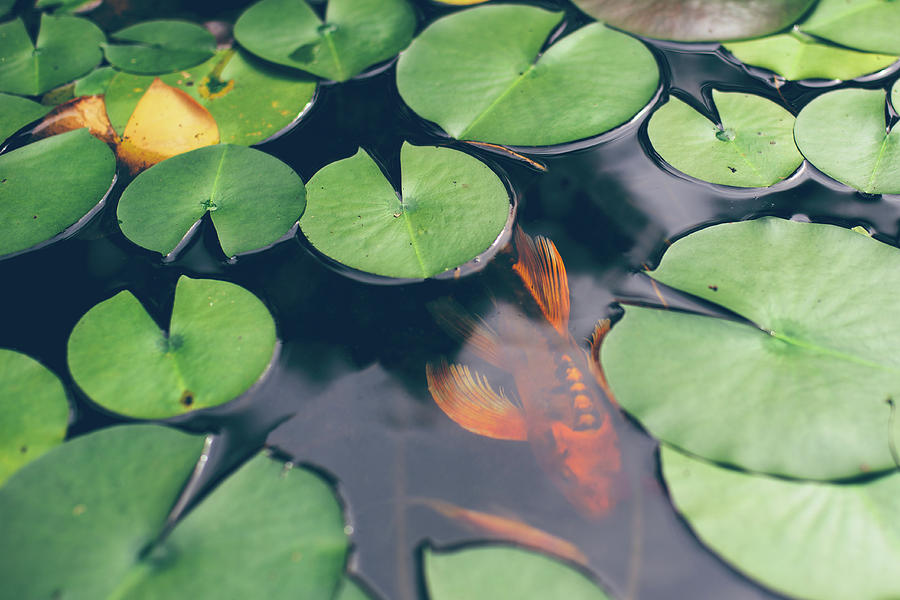 A Koi Fish Swimming Underneath Lily Photograph by Melissa Ross
