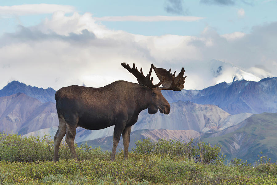 2010 Photograph - A Large Bull Moose Stands On The Tundra by Hugh Rose