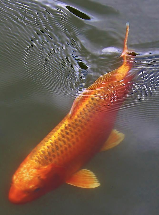Koi Photograph - A Leisurely Swim by Bruce Bley
