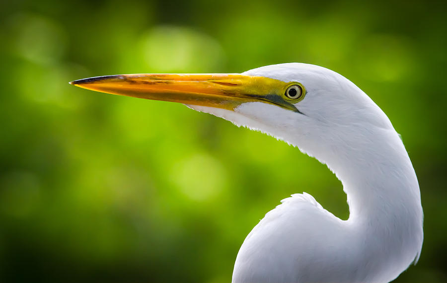Alert Photograph - A Lighter Version Of A Snowy Egret by Andres Leon