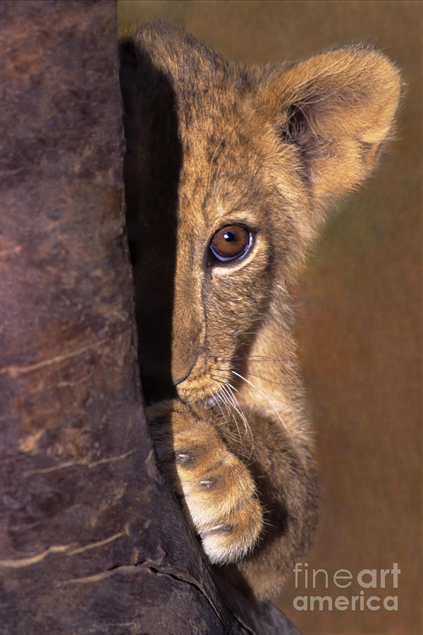 A Lion Cub Plays Hide And Seek Wildlife Rescue Photograph