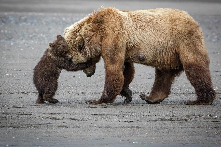 Alaska Photograph - A Little Bear Hug by Renee Doyle