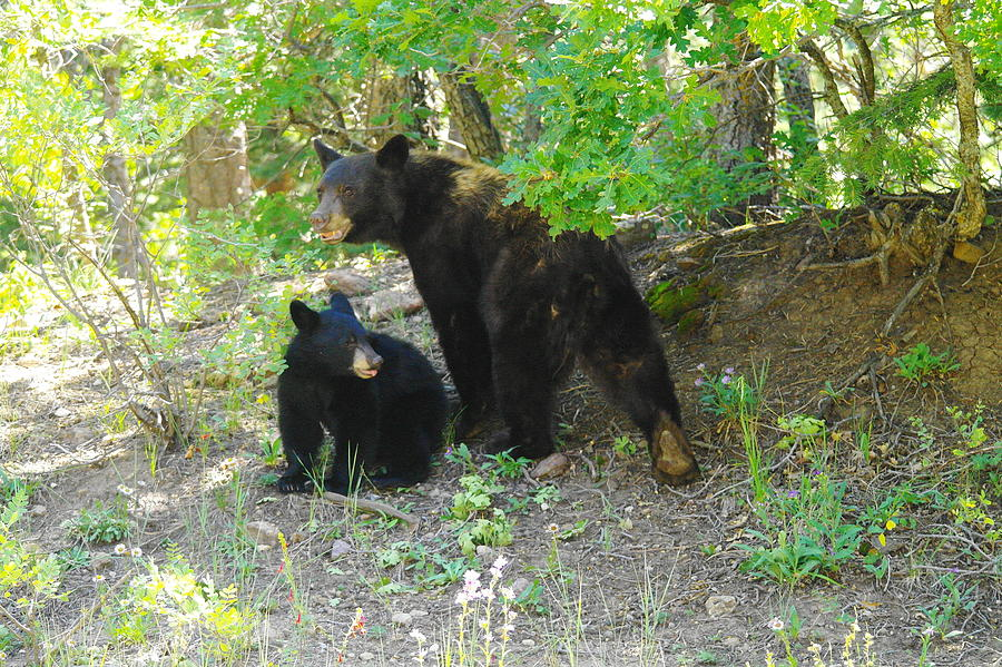 Bears Photograph - A Little Growl Before Departing by Jeff Swan
