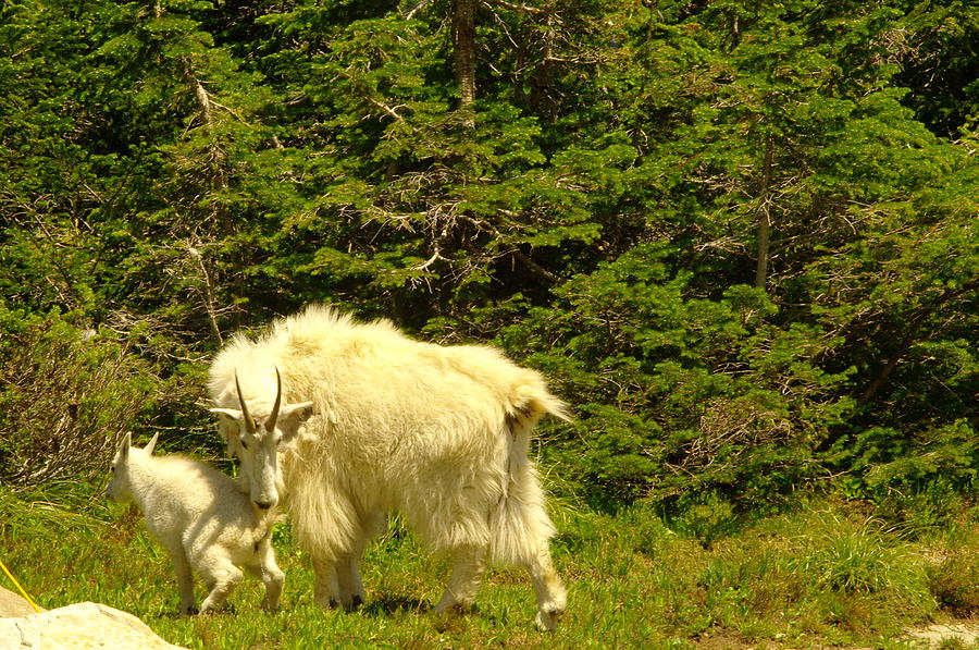 Mountain Goats Photograph - A Little Privacy Please by Jeff Swan