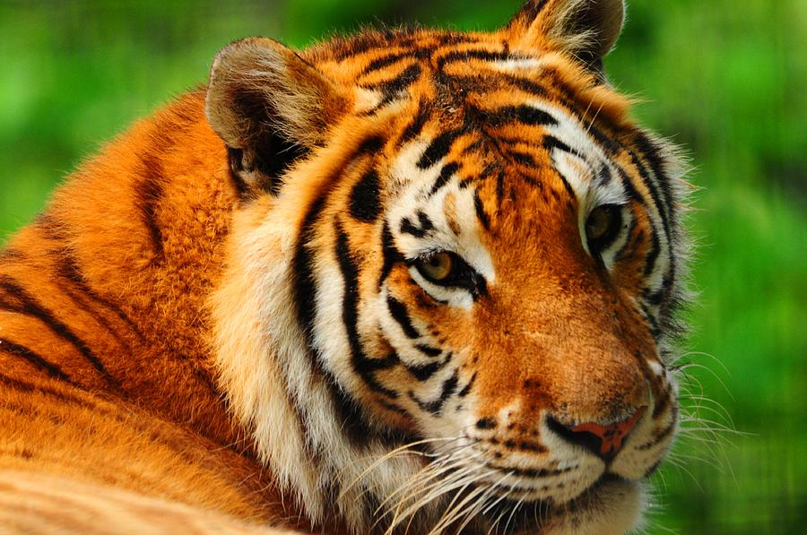Tiger Photograph - A Look From A Tiger by Valarie Davis