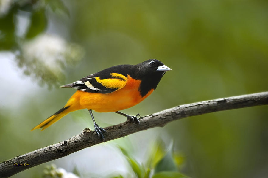 Oriole Photograph - A Look To Remember by Christina Rollo