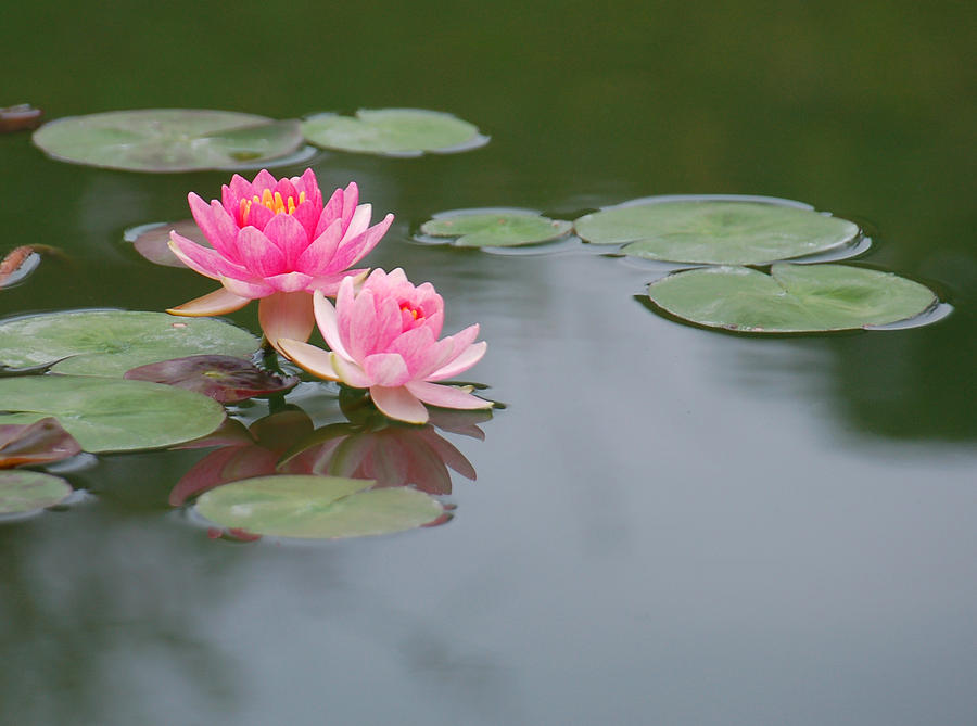 Pink Water Lilies Photograph - A Loving Pair by Suzanne Gaff