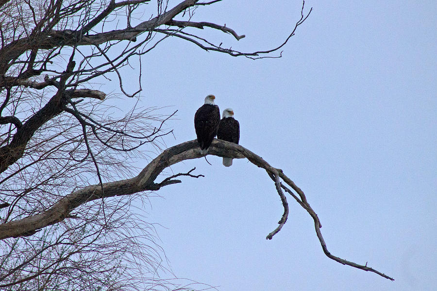 Eagle Photograph - A Majestic Pair by Rhonda Humphreys
