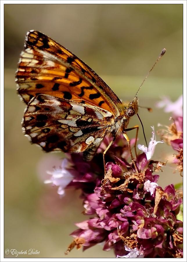Auvergne Photograph - A Marvelous Butterfly by Elizabeth  Dallet