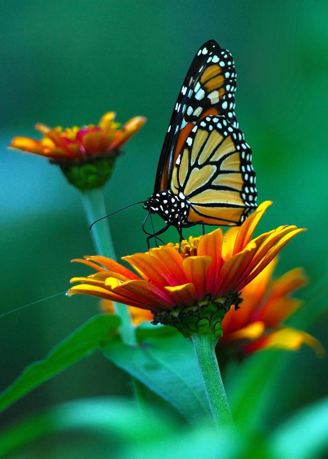 Butterfly Photograph - A Monarch II by Raymond Salani III