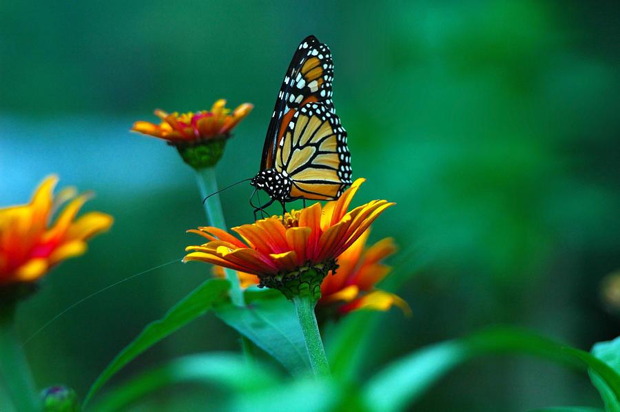 Butterfly Photograph - A Monarch by Raymond Salani III