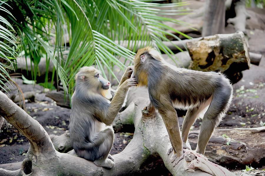 A Monkey Grooming Another Monkey Photograph by Jim Julien / Design Pics