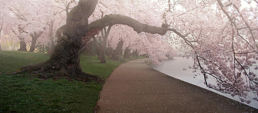 National Cherry Blossom Festival Photograph - A Morning To Remember by Bernard Chen