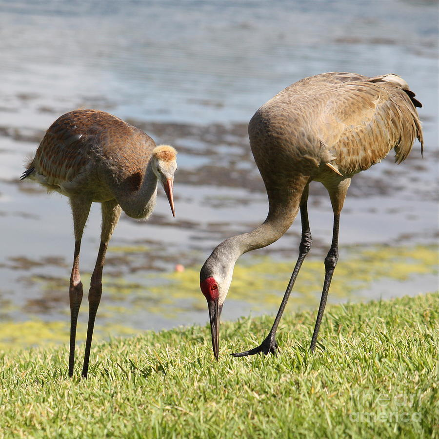 Sandhill Cranes Photograph - A Mothers Lesson by Carol Groenen