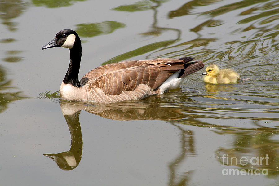 Goose Photograph - A Mothers Love by Bob and Jan Shriner