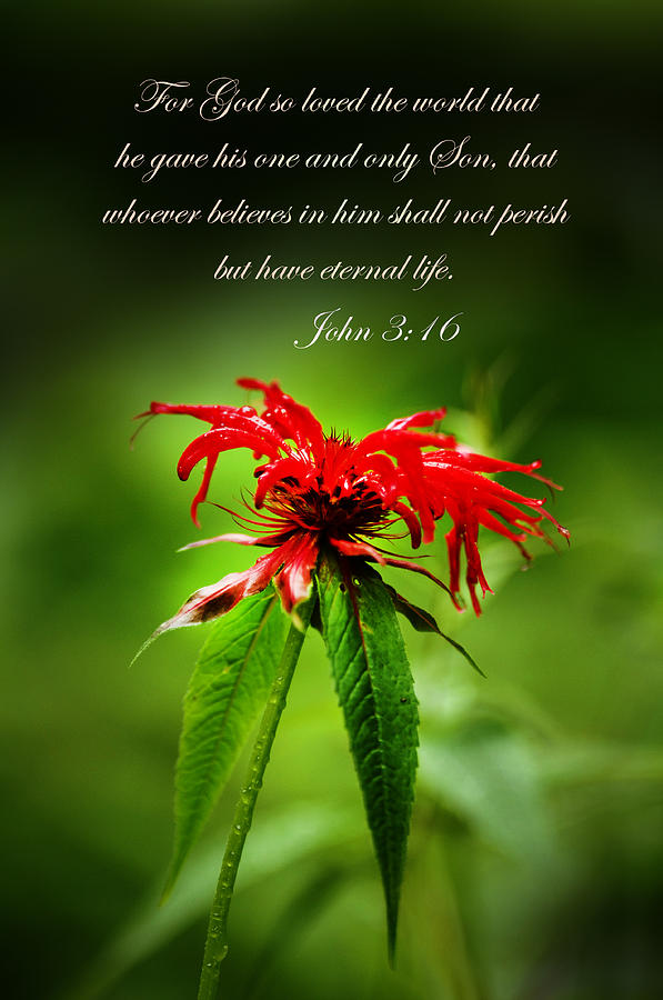 Red Flower Photograph - A Mountain Flower  John 3 16 by Randall Branham