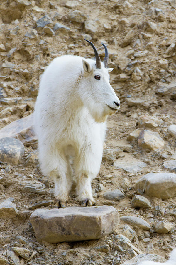 Barren Photograph - A Mountain Goat On Watch In The Big by Robin Carleton