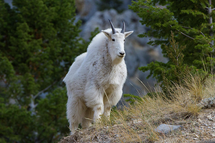 Big Belt Mountains Photograph - A Mountain Goat Stands On A Grassy by Robin Carleton