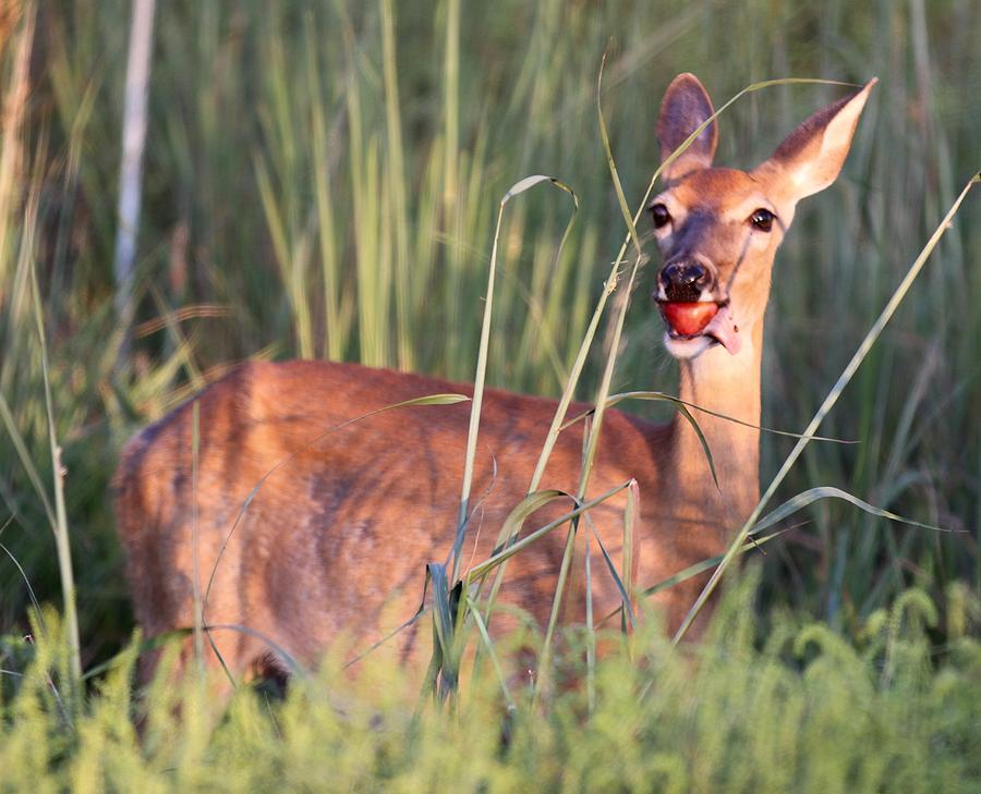 Deer Photograph - A Mouth Full by Elizabeth Winter