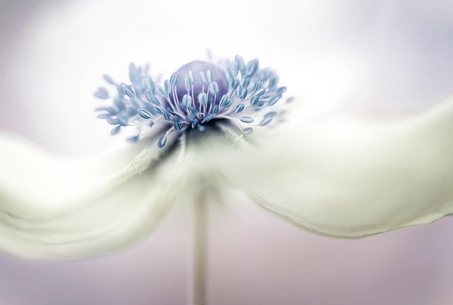 Anemone Photograph - A N E M O N E by Mandy Disher