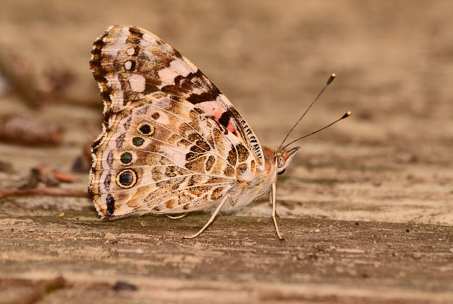 Butterfly Photograph - A Neutral Palette by Lori Tambakis