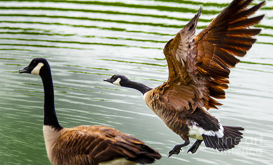 Nature Photograph - A Pair Of Canada Geese Landing On Rockland Lake by Jerry Cowart