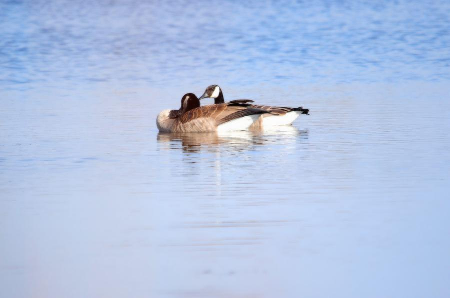 Geese Photograph - A Pair Of Geese by Valarie Davis
