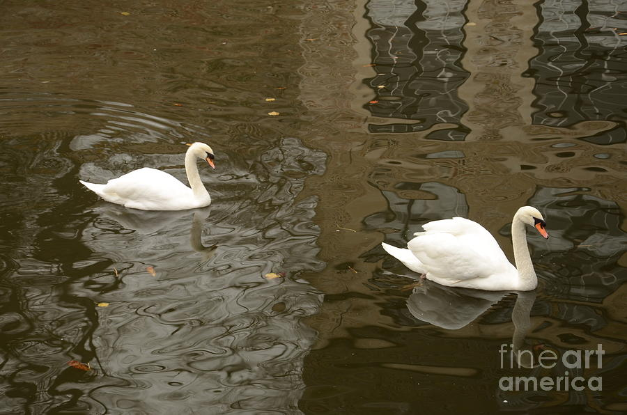 Swans Photograph - A Pair Of Swans Bruges Belgium by Imran Ahmed