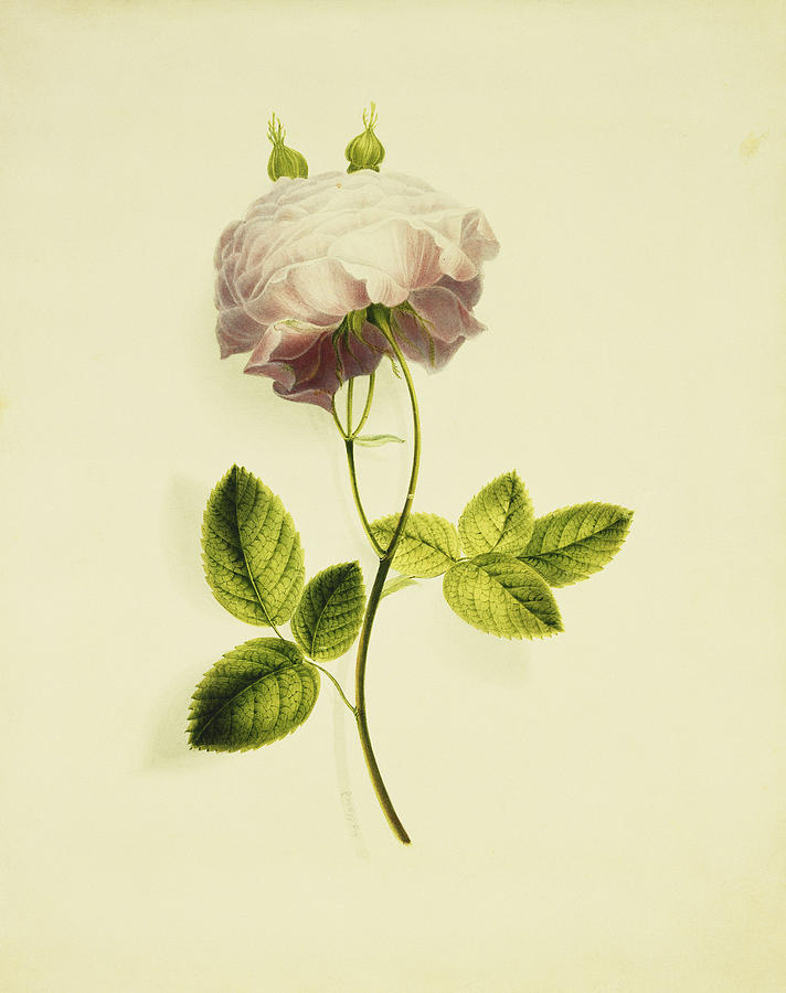 Biology Painting - A Pink Rose by James Holland