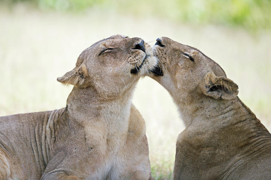 Lion Photograph - A Pleasant Afternoon by Marco Pozzi