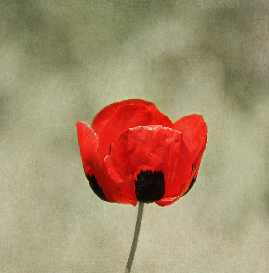 Red Flower Photograph - A Pop Of Red And Black by Kim Hojnacki